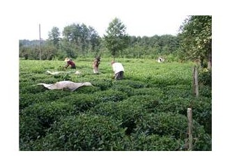 Çayın Oluşumu Tarihi,Sürgün Dönemleri