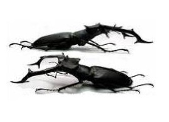 Karaböceklerden nefret ediyorum