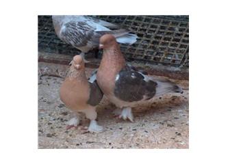 Bizim evin güvercinleri