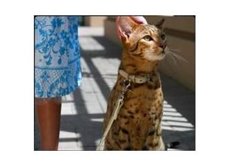 Genetik biliminin son kedisi: Ashera