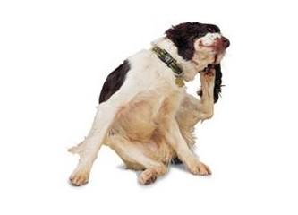 Kedi ve köpeklerde kullanılan öldürücü pire damlaları