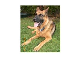 Köpek pirelerine karşı ucuz, kolay ve doğal yöntemler