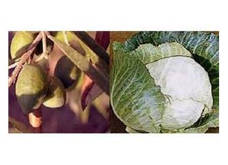 Evde sofralık zeytin, bir de lahana turşusu kurmak
