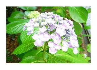 Yağmurlu günlerin çiçeği