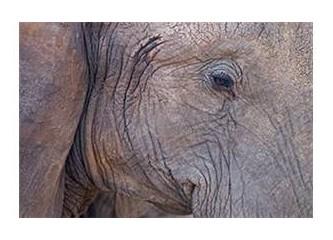 Filler yalnız ölür ya insanlar?