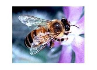 Arıların 1 gram bal aşkı