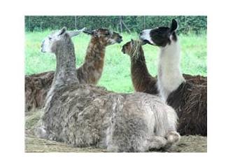 "Öfkeci ""Lama"""
