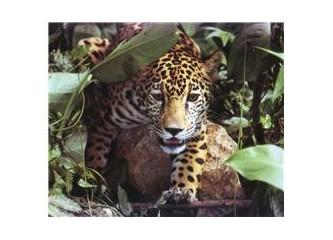 Jaguar'a tuğla fırlatmak...
