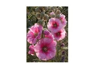 Adı güzel, etkisi güzel Hatmi çiçeği