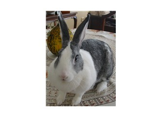 Tavşanın kulakları neye benzer?
