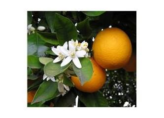 Çürük portakal
