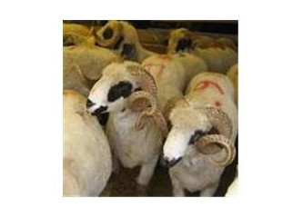 Kurbanlık koyun ağlıyordu..