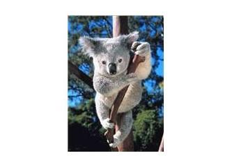 Koala / Tembel ayı