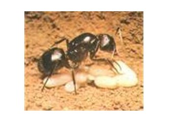 Karınca Yumurtası Yağı Nedir, Ne
