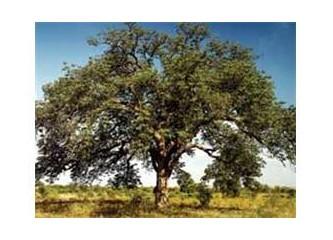 Öyle bir ağaç ki ! :))