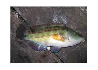 Lapina Balığı Nedir?