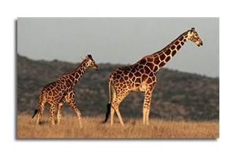 Zürafalar Neden Beyin Kanaması Geçirmez?