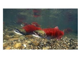 Somon balıkları 3200 kilometre göç ederken yolu nasıl şaşırmaz?