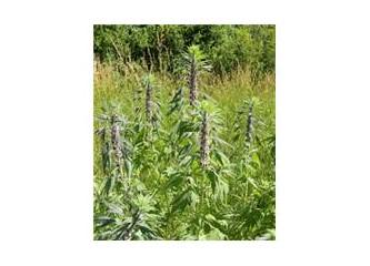 Tiroit hastalığında bitkilerle tedavi