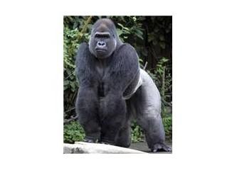 """Müthiş """"Goril"""""""