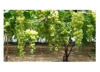 Sezonun ilk üzüm hasadı Mersin`de yapıldı...