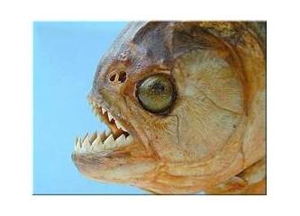 Piranhalar, sadece nehirde mi yaşar?