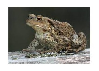 Haşlanmış kurbağaya dönmüş bu millet