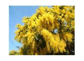 Çiçekler 10: Mimoza
