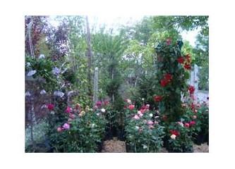 Sarmaşık gülleri