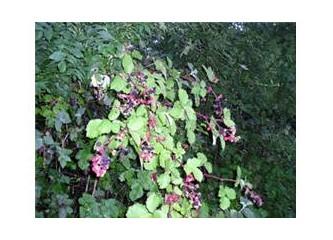 Böğürtlen yaprağı iltihaplanma, ishal