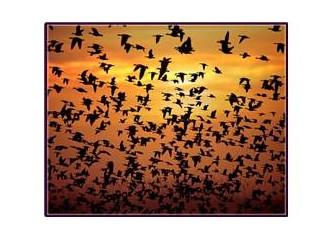 Bilim uyumadan uçan kuşları araştırıyor