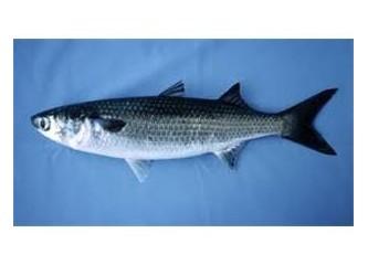 Kefal balığı hakkında