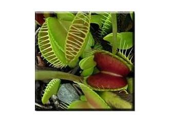 "Böcek Kapan Bitki ""Dionaea"""