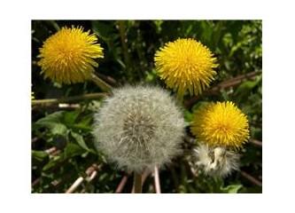 Yanıbaşımızdaki tıbbi bitkiler - 1
