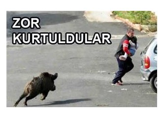 Bodrum'u domuzlar istila etti!