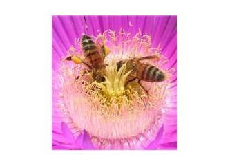 Arı sütü ve polenin sağlığa etkileri