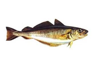 Tavuk Balığı
