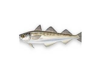 Alaska Kömür Balığı