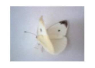 Kelebek gibi