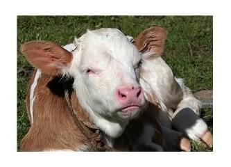 Baba, bu inek ne zaman doğuracak