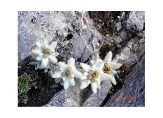 Güneşe en yakın olan çiçek Edelvays