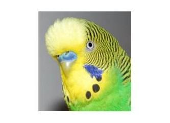 Muhabbet kuşu ile muhabbet etmek ne mümkün?
