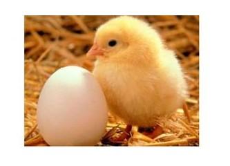 Yumurtadan ne çıkar?