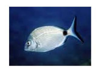 Karagöz balığı ve avlanma metotları