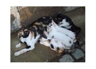 Evlerimizdeki minyatür aslan; Kedi