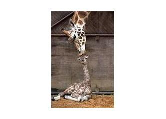"""Başı Havada """"Zürafa"""""""