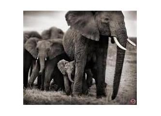 Timur'un filleri ve A.K.P.