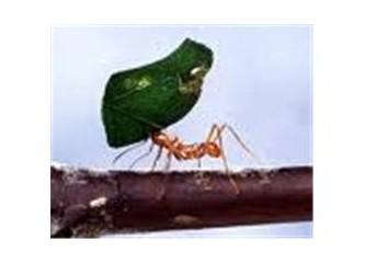 Ağustos böceği ile karınca!
