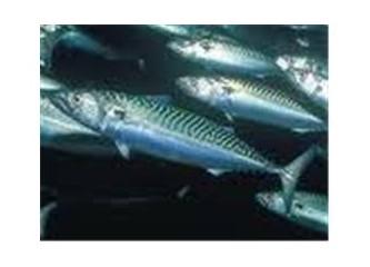 Uskumru balığı nasıl bir balıktır