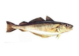 Mezgit Balığı Hakkında